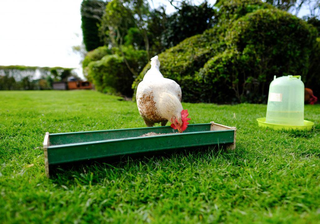 Самые удобные кормушки для цыплят бройлеров