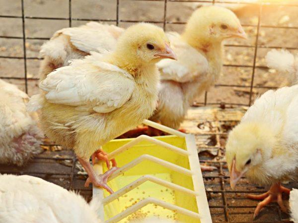Лотковая кормушка для цыплят
