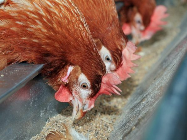 Кормушку для кур изготавливают из широкой пластиковой трубы длиной от 1 м