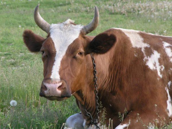 Корова не встает после отела