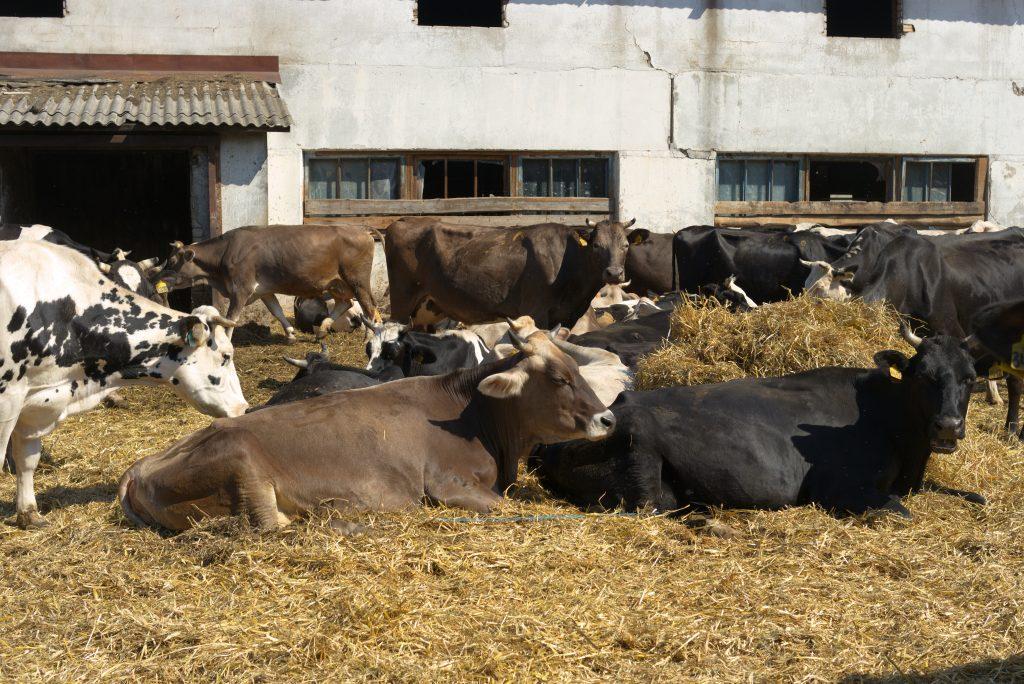 Костромская порода коров описание характеристика