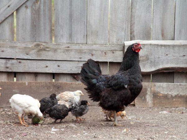 Взрослые курицы Ла Флеш нуждаются в питании с витаминами