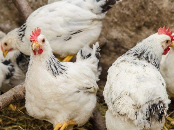 Принудительную линьку проводят для повышения яйценоскости