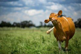 Нодулярный дерматит у коровы