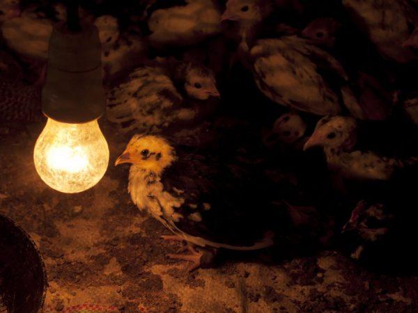 В холодное время освещение служит для обогрева цыпля