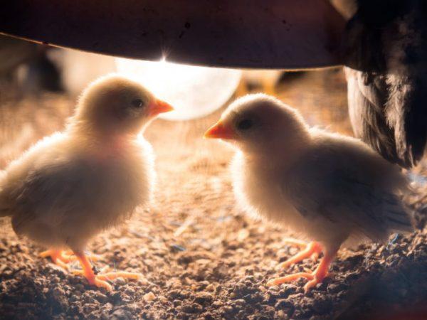 Яркий свет оказывает огромное влияние на развитие цыплят и их последующую продуктивность