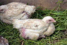 Причиной выпадения перьев у кур является пероед