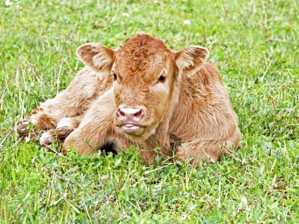 Плюшевым телятам подбирают специальные корма, составляют индивидуальный рацион