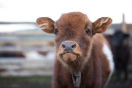 Плюшевая корова