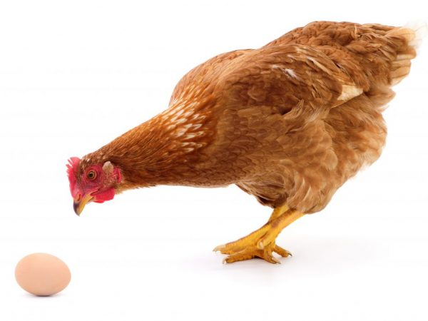 Курица клюет яйца