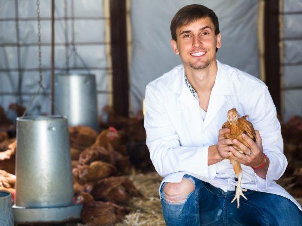 Зараженная больная курица часто перестает нестись