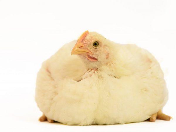 Заболеванием Перозис страдают бройлерные цыплята