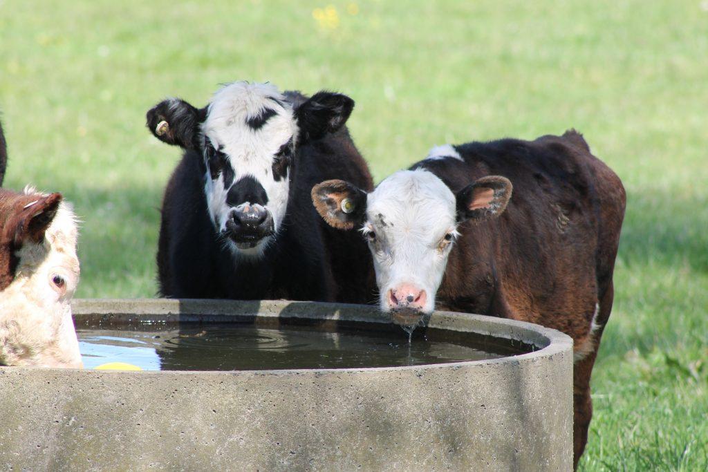 картинки коров в воде сексшопа