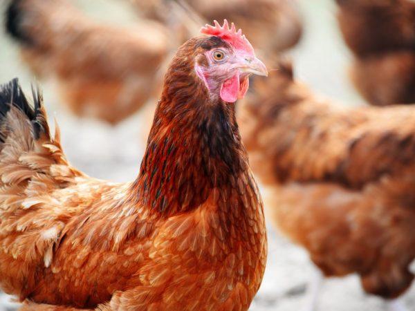 Линька у полтавских глинистых куриц происходит осенью для подготовки к зиме