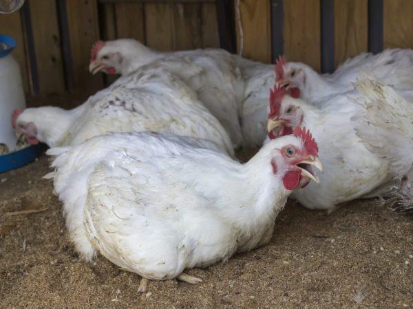 Пастеррелез у кур развивается стремительно: за несколько часов могут умереть все особи
