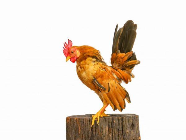 Малазийская Серама – самая миниатюрная из всех карликовых куриц