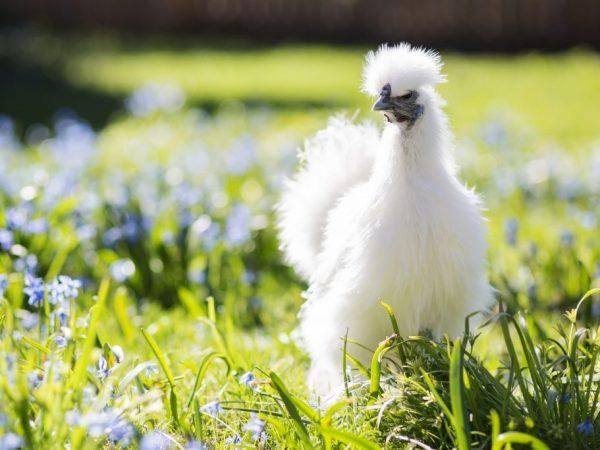 Ученые считают, что мясо китайской курицы целебно и полезно для человека