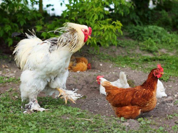 Многие породы лохматых куриц используют для украшения двора