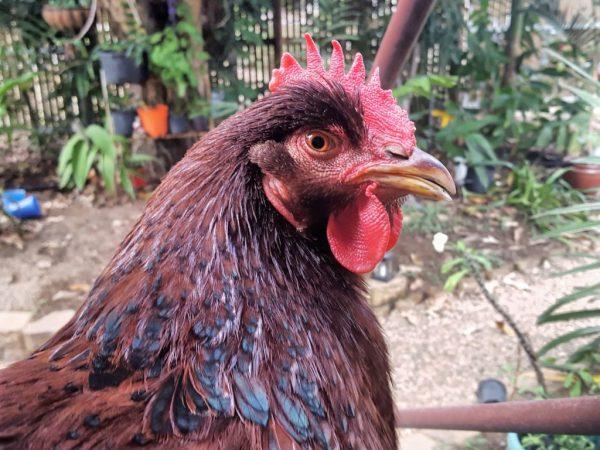 Порода кур Род Айленд классический представитель мясояичного направления
