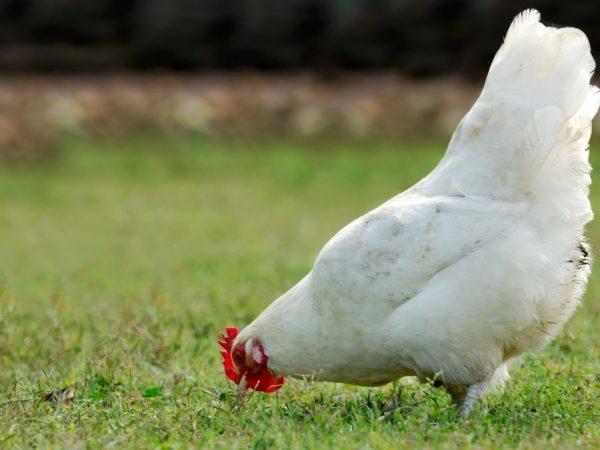 Куры белой русской породы обладает стойким иммунитетом к инфекциям