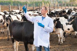 Шишки на теле у коровы – признак наступающей болезни