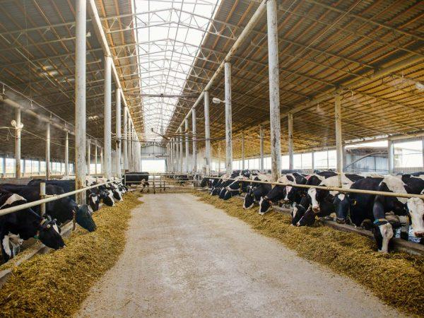 Строительство сарая для коров и быков своими руками