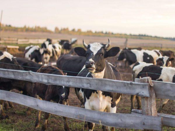 Загон для выгула должен быть закрыт навесом и огражден боковыми перегородками. Так чтобы коровы не разбежались