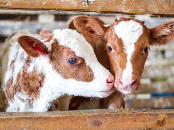 Чтобы взрослые коровы не съедали корм у телят, им лучше сделать отдельные стойла