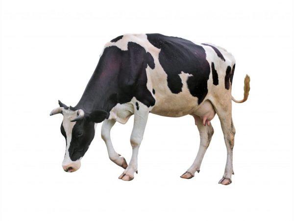 Черно-пестрая корова