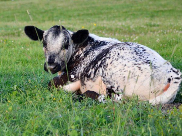Истобинская или Истобенская разновидность коров