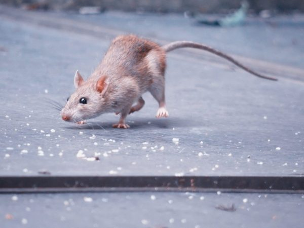 Крысы и мыши очень сообразительны, у них хорошо развит инстинкт выживаемости, поэтому от них очень сложно избавиться