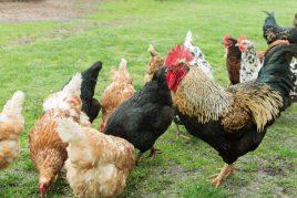 Количество куриц для одного петуха