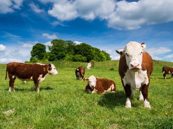 Казахская белоголовая корова