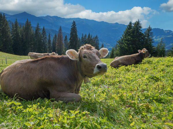 Характеристика Швицкой породы коров