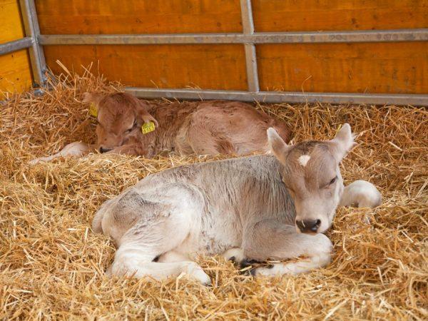 Новорожденные телята