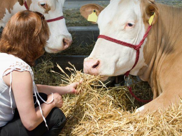 Основной откорм для симментальской породы быков и коров – сено и солома
