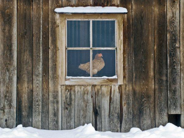 Зимой кур содержат при температуре 10-18 ℃