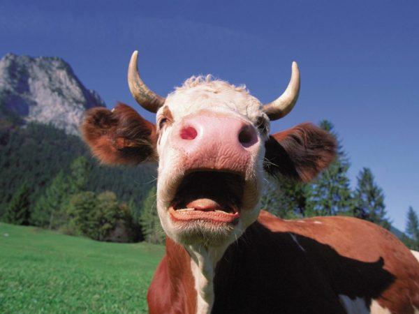 Стрептодермия у коровы