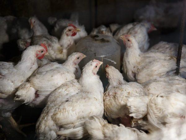 Тривитамин П для цыплят