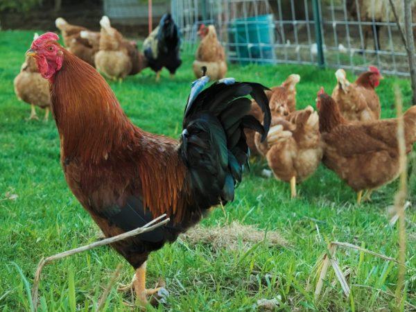 К году вес кур породы Венгерский Великан равен 4 кг, петухов – 5,5 кг