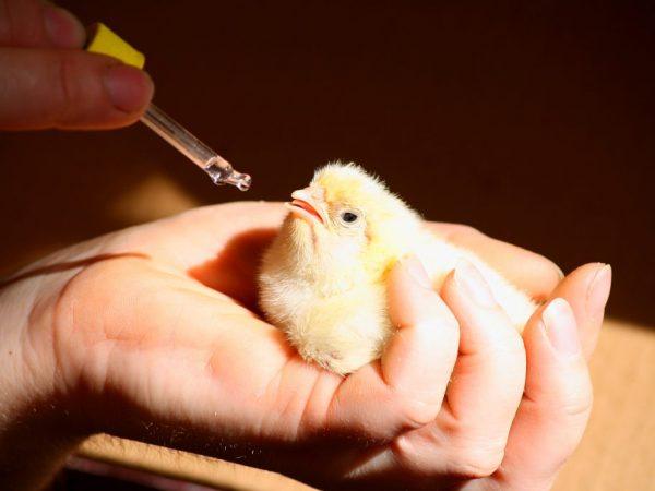 Витамины цыплятам следует давать с первых дней жизни