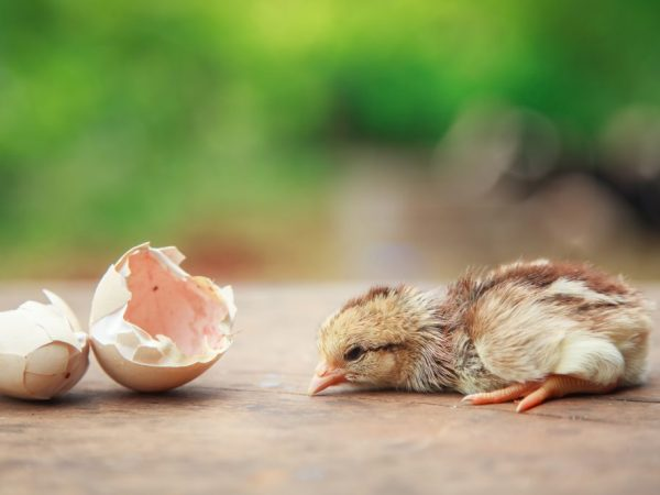 Если яйцо начинает двигаться, значит цыпленок вылупится в ближайшее время