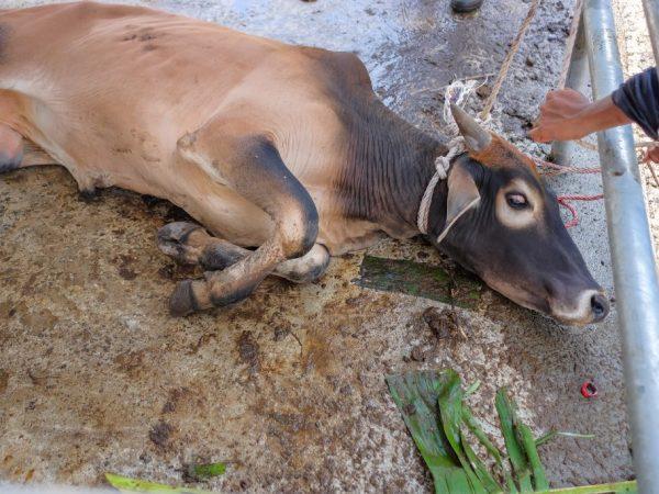 Процесс оглушения позволяет быстрее зарезать корову