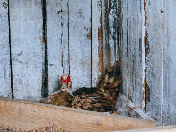 Деревянные гнёзда нужно делать с крышей, тогда утка будет чувствовать себя защищённой