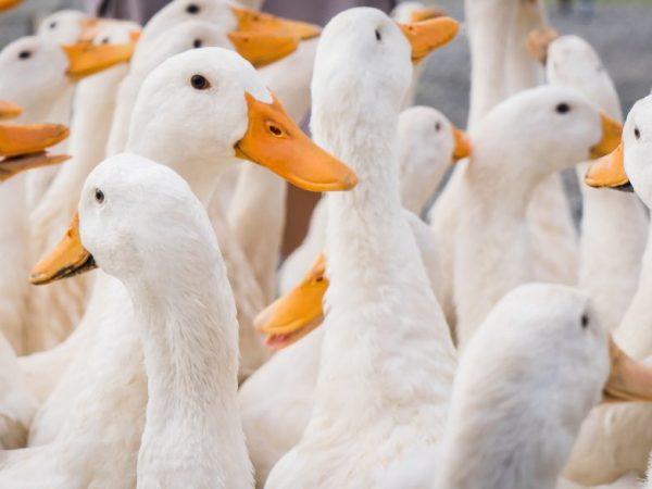 Заводчикам не нужно строить капитальные птичники, главное - отсутствие сквозняков