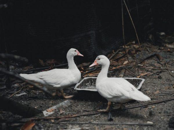Чтобы утка быстро набирала вес, в ее рацион можно добавлять арбуз или арбузные корки - они улучшают обменный процесс