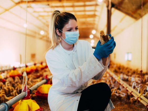 Цыплятам бройлеров в период с 4 по 11 дней жизни для профилактики дают антибиотики, направленные на уничтожение инфекций