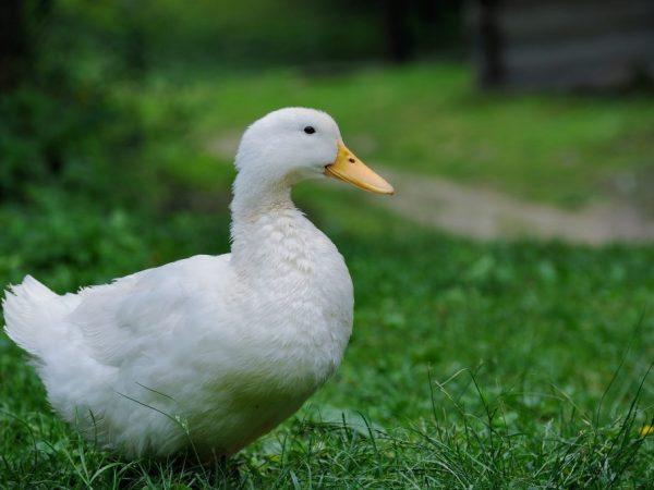 Чтобы утки не набирали лишний вес и, в то же время, в период интенсивной кладки не произошло снижение веса – разрабатывается специальный рацион