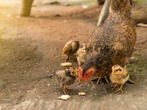 Применение метронидазола для цыплят и кур