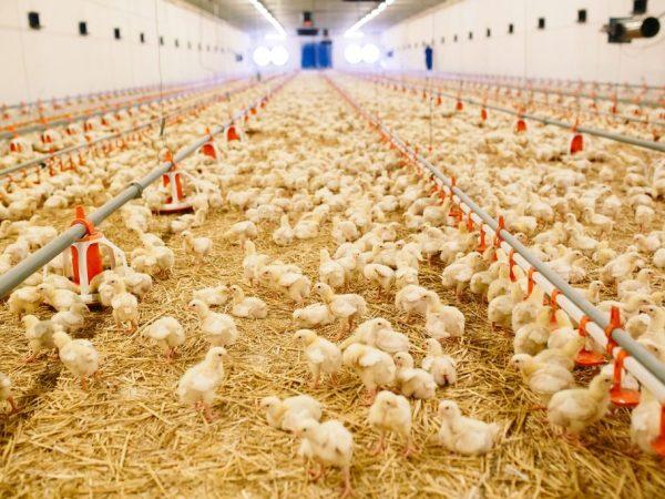Сбалансированное меню – основа успеха такой процедуры, как выращивание цыплят бройлеров. Кормим хорошо – получаем много мяса